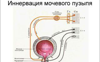 Особенности иннервации мочевого пузыря