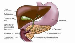 Роль печени в пищеварении заключается в выработке желчи