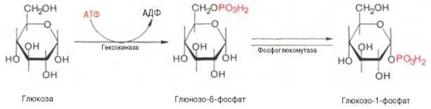 Гликогенез – это процесс преобразования глюкозы в гликоген