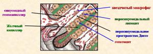 Гепатоциты – это клетки паренхимы печени со множеством функций