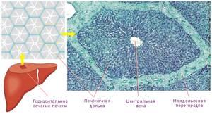 Печеночная долька – составная часть печеночной доли