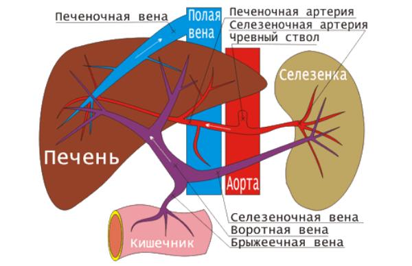 Сегменты печени: строение и размеры органа