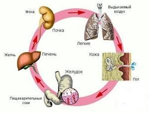 Функции печени: за что отвечает этот орган